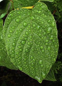 big_leaf.jpg