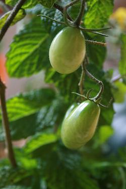 green_tomatoes.jpg