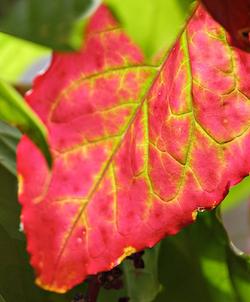 red_leaf.jpg