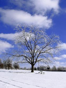 Icy_Tree.jpg