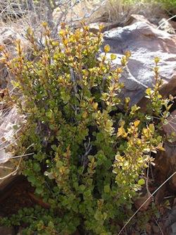 Myrothamnus_flabellifolius_5_Myrothamnaceae.jpg